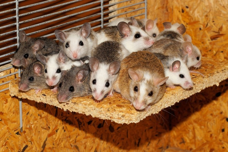 Mice Security Mastomys Family Community Together