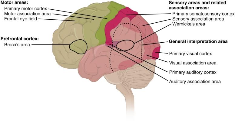 brainss.jpg